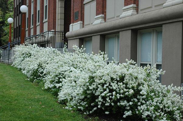 exochorda macrantha 39 the bride 39 landscape plants. Black Bedroom Furniture Sets. Home Design Ideas