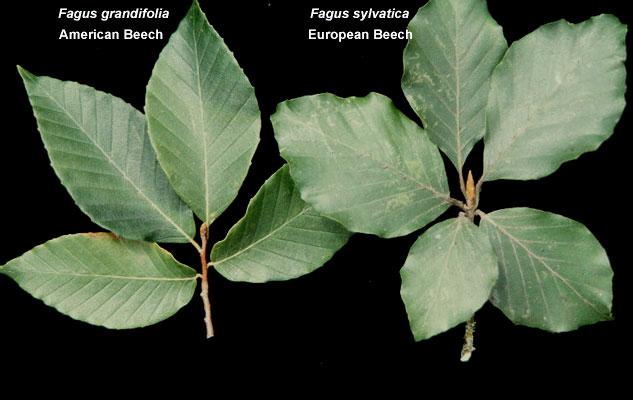 Fagus Grandifolia Landscape Plants Oregon State University