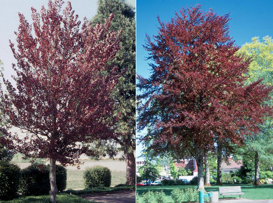 fagus sylvatica 39 purpurea 39 landscape plants oregon. Black Bedroom Furniture Sets. Home Design Ideas
