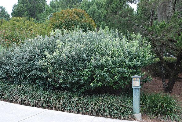 Acca Sellowiana Landscape Plants Oregon State University