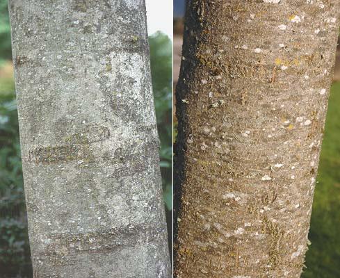 Fraxinus Oxycarpa Raywood Landscape Plants Oregon