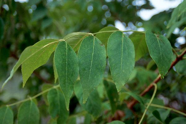 Fraxinus Quadrangulata Landscape Plants Oregon State