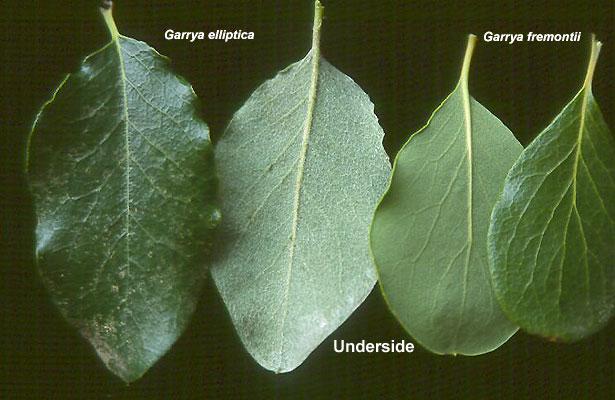 Garrya Elliptica Landscape Plants Oregon State University