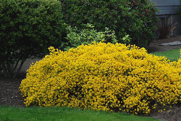 Genista lydia landscape plants oregon state university for Flowering landscape plants