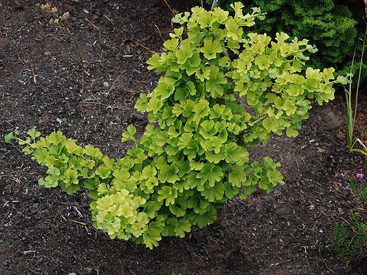 ginkgo biloba 39 mariken 39 landscape plants oregon state. Black Bedroom Furniture Sets. Home Design Ideas