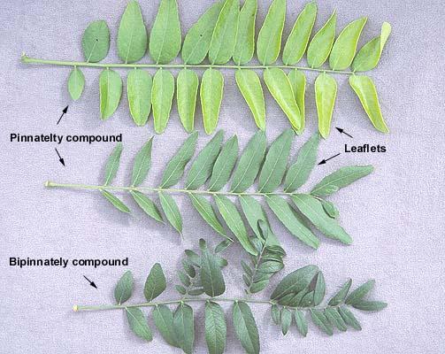 Gleditsia Triacanthos Var Inermis Landscape Plants