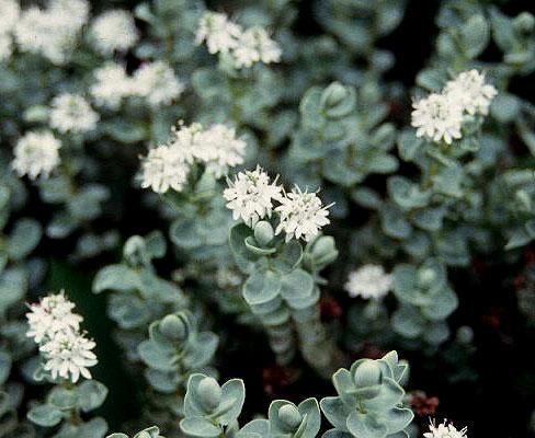 Hebe Pinguifolia Pagei Landscape Plants Oregon State