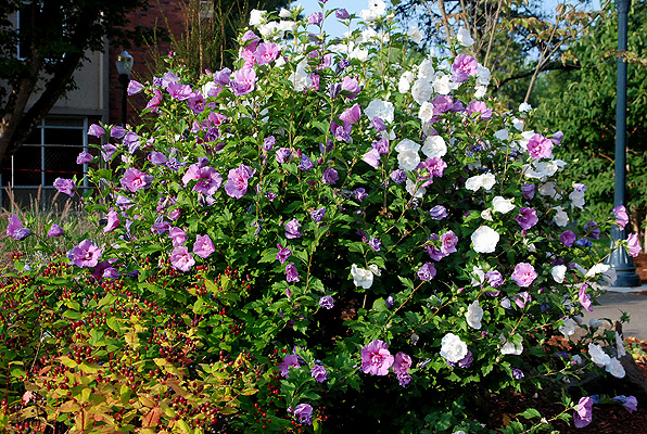 hibiscus syriacus 39 some selections 39 landscape plants. Black Bedroom Furniture Sets. Home Design Ideas