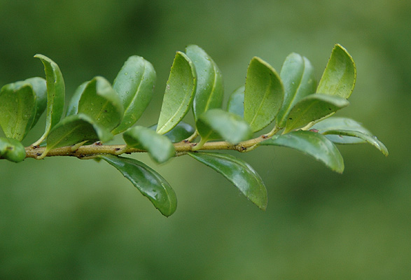 Ilex Crenata Convexa Landscape Plants Oregon State