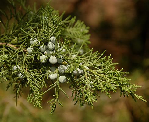 juniperus chinensis keteleeri landscape plants