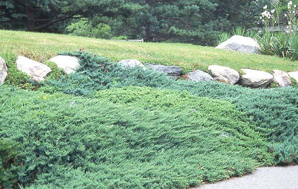Juniperus Horizontalis Landscape Plants Oregon State