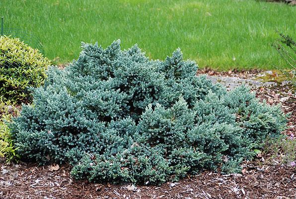 Juniperus squamata 39 blue star 39 landscape plants oregon state university - Juniperus squamata blue carpet ...