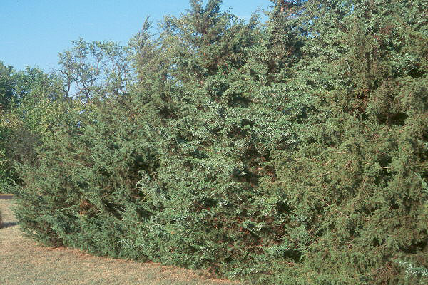 Red Cedar Hedge ~ Juniperus virginiana landscape plants oregon state