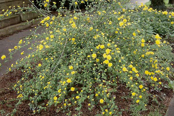 Kerria Japonica Pleniflora Landscape Plants Oregon