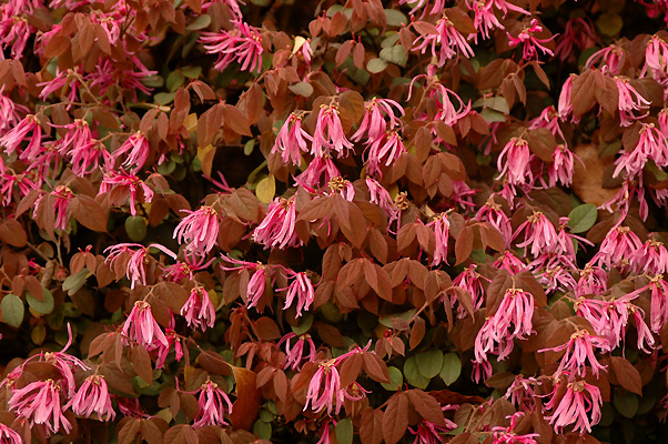 Loropetalum chinense var rubrum landscape plants oregon state flowers and new leaves spring mightylinksfo