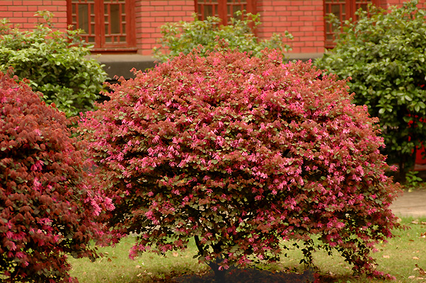 Loropetalum chinense var rubrum landscape plants for Flowering landscape plants