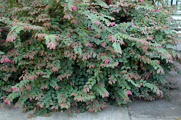 Image gallery loropetalum blush for Landscape bush identification