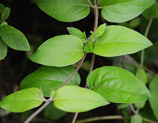 Lonicera Japonica Landscape Plants Oregon State University