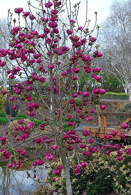 Magnolia Black Tulip Landscape Plants Oregon State University