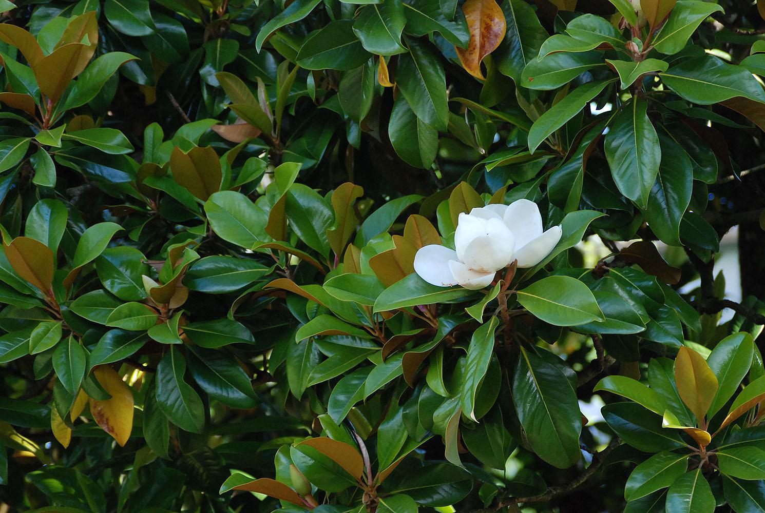 Magnolia Grandiflora Landscape Plants Oregon State University