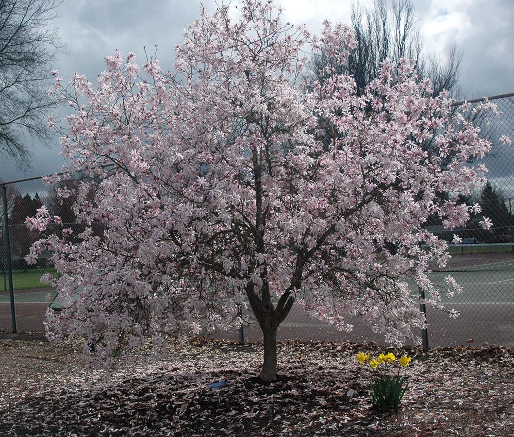 Magnolia Loebneri Leonard Messel Landscape Plants Oregon