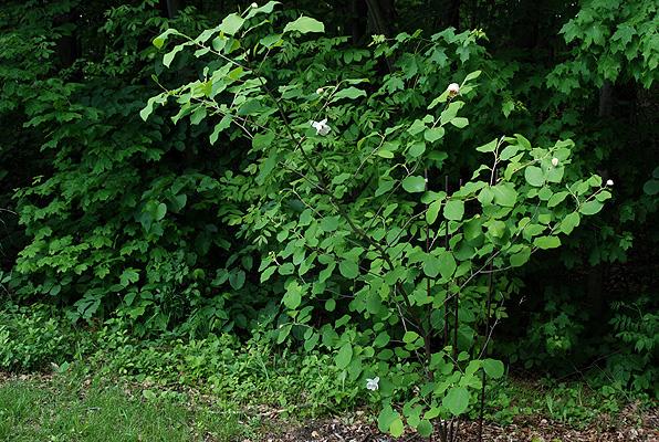 magnolia sieboldii landscape plants oregon state. Black Bedroom Furniture Sets. Home Design Ideas