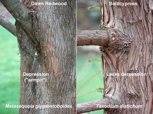 Taxodium Distichum Landscape Plants Oregon State