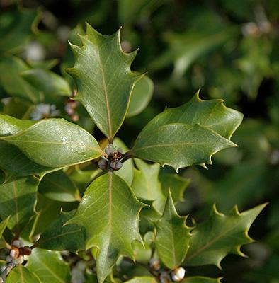 Osmanthus Heterophyllus Landscape Plants Oregon State