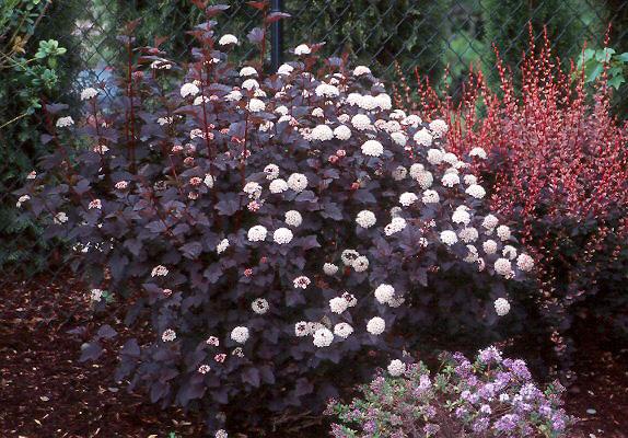 physocarpus opulifolius diabolo u00ae