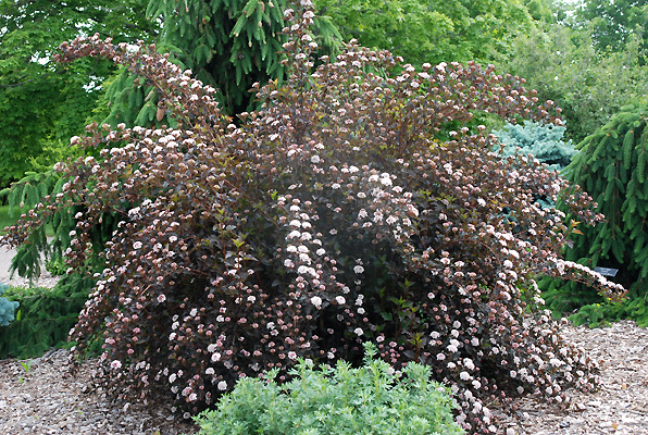 Physocarpus Opulifolius Summer Wine Landscape Plants