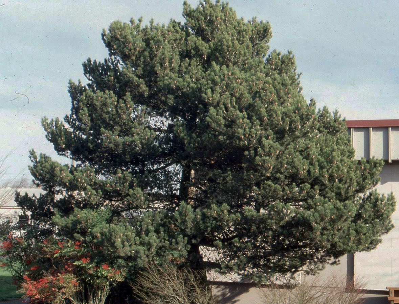 Pinus Contorta Var Contorta Landscape Plants Oregon State University