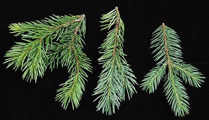 Picea Engelmannii Landscape Plants Oregon State University