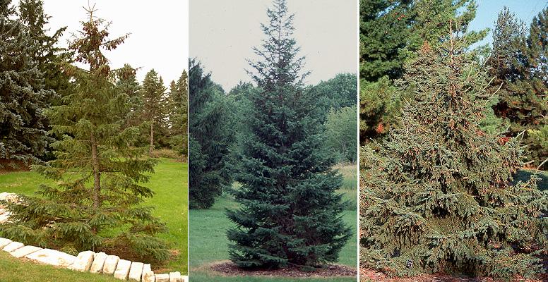 Picea glauca 'Densata' | Landscape Plants | Oregon State ...
