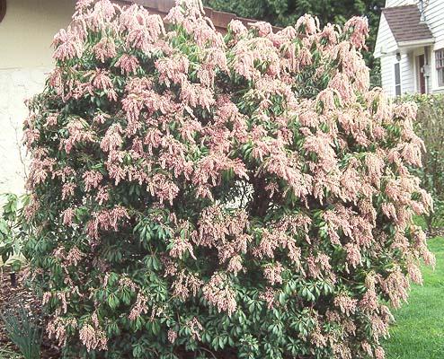 Pieris Japonica Landscape Plants Oregon State University