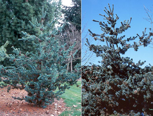 pinus parviflora 39 glauca 39 landscape plants oregon. Black Bedroom Furniture Sets. Home Design Ideas