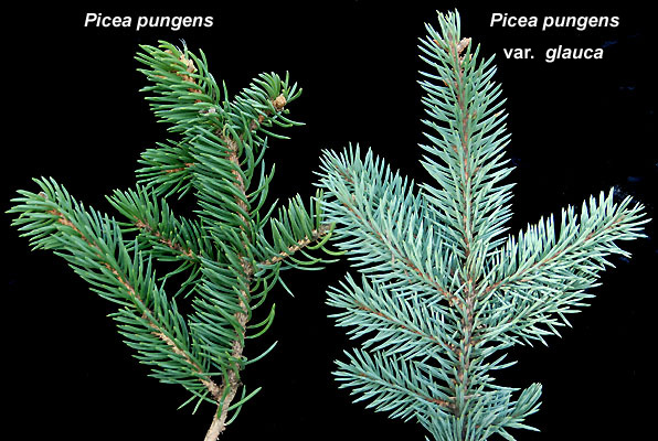 picea pungens var glauca landscape plants oregon. Black Bedroom Furniture Sets. Home Design Ideas