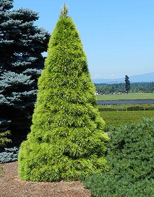 Pinus Strobus Louie Landscape Plants Oregon State