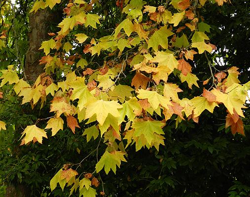 Platanus 215 Acerifolia Landscape Plants Oregon State