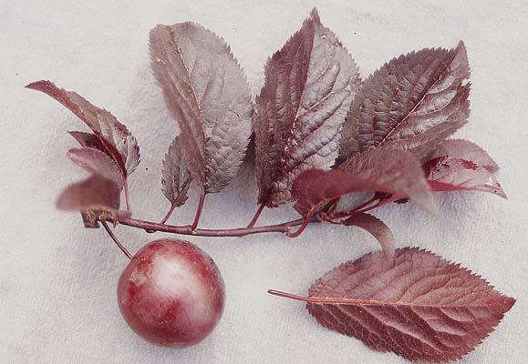 Prunus cerasifera 'Thu...