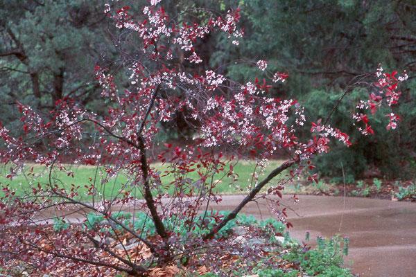 Prunus 215 Cistena Landscape Plants Oregon State University