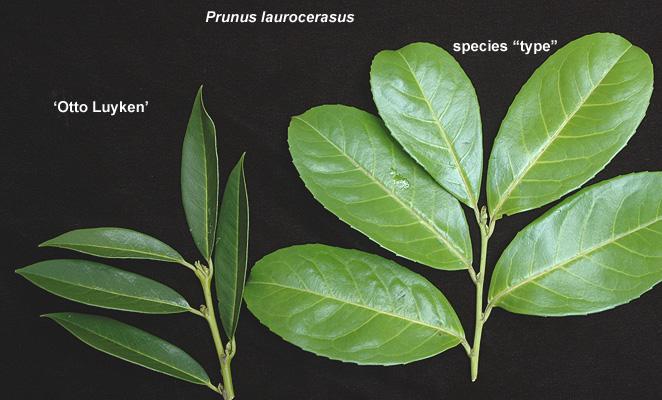 Prunus Laurocerasus Otto Luyken Landscape Plants