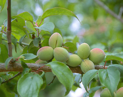 Prunus mume 'Peggy Clarke' | Landscape Plants | Oregon ...