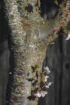 Prunus Snow Goose Landscape Plants Oregon State
