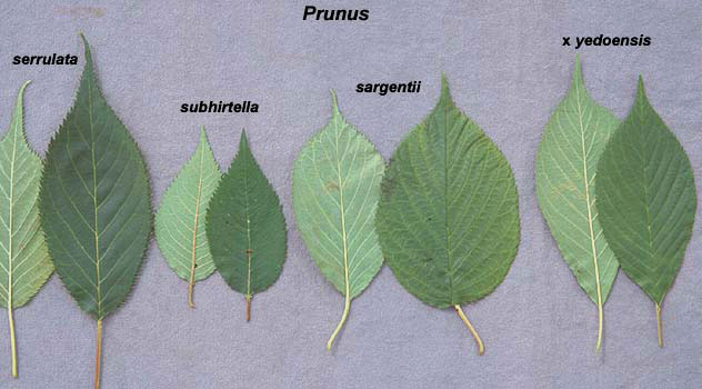 Prunus Serrulata Landscape Plants Oregon State University
