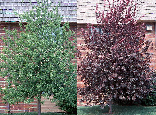 Image result for canada red chokecherry
