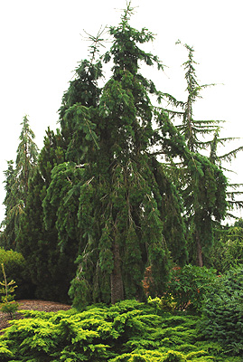 Pseudotsuga Menziesii Graceful Grace Landscape Plants