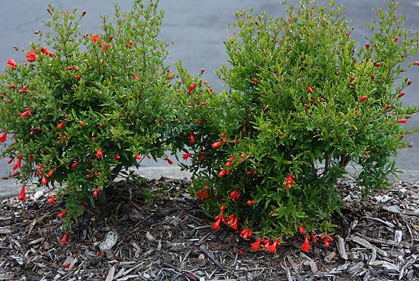 punica granatum var nana landscape plants oregon state university. Black Bedroom Furniture Sets. Home Design Ideas