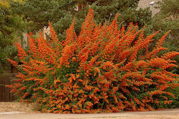 Pyracantha landscape plants oregon state university for Siepi finte
