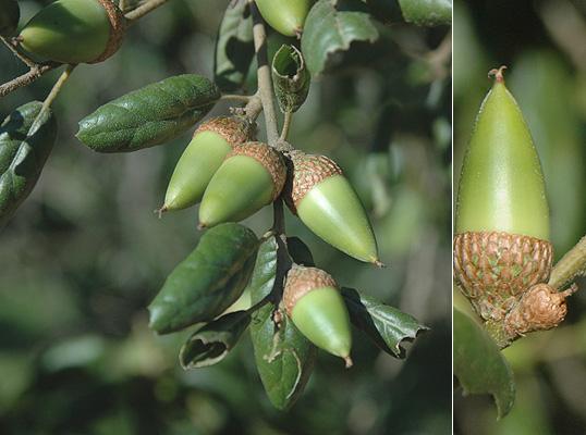 Quercus Agrifolia Acorns
