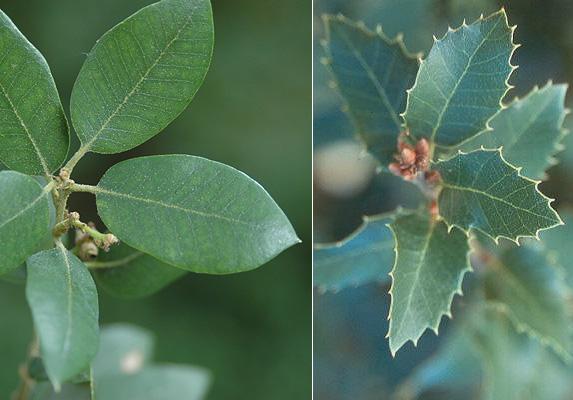 Quercus Chrysolepis Landscape Plants Oregon State